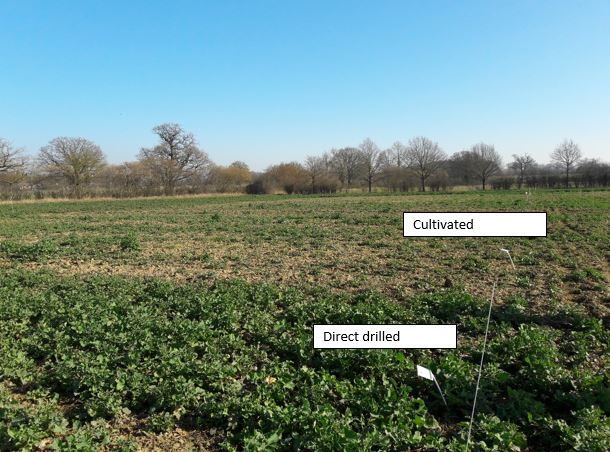 OSR - Cultivated Vs Direct drilled
