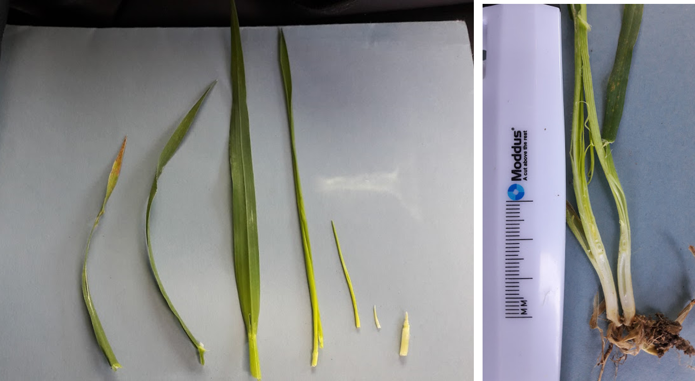 Winter barley leaf dissection