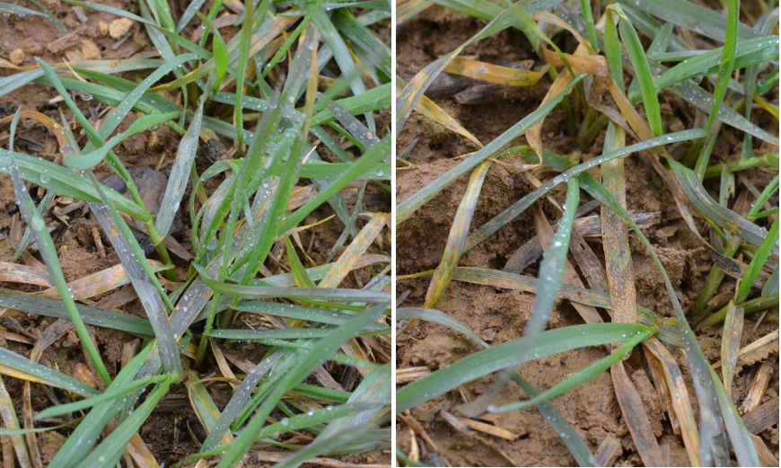A photo of winter wheat showing leaves with a purple hue and yellow rust