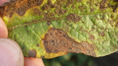 Alternaria infection on leaf