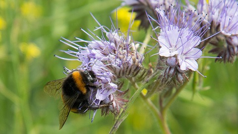 Bumblebee on phacelia