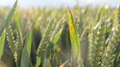 BYDV infection on wheat leaves in ear
