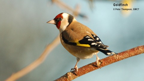Goldfinch - GWCT