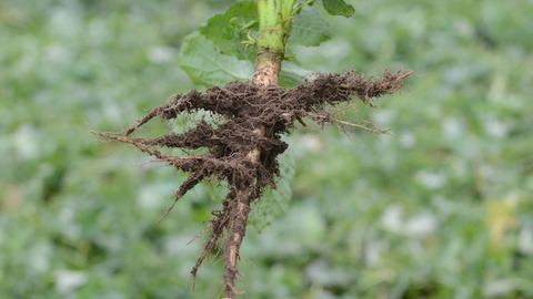 OSR rooting