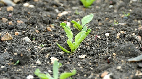 Sugar Beet seedlings
