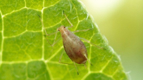 Aphid on potato leaf