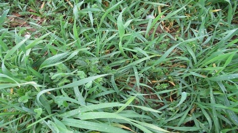 Close-up photo of the cover crops being trialled at Rougham Innovation Centre