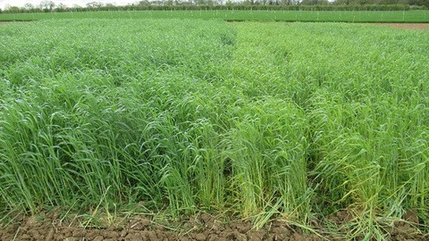 Rye and vetch cover crop