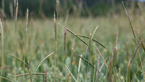 Black grass heads and seed shedding