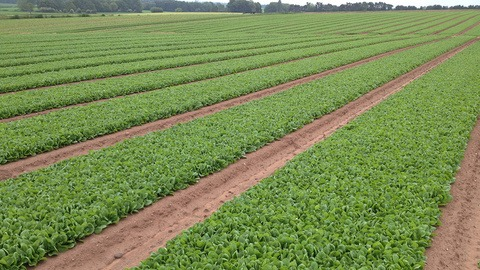 Syngenta spinach in production
