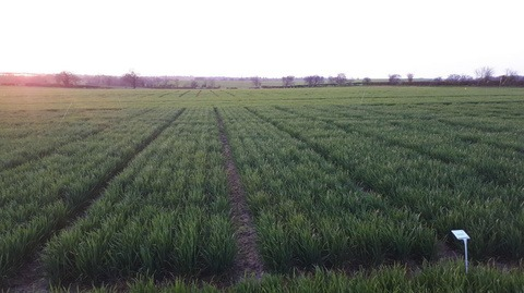 winter_wheat_variety_plots_at_warwick_innovation_centre_