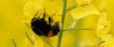 Bumblebee on OSR