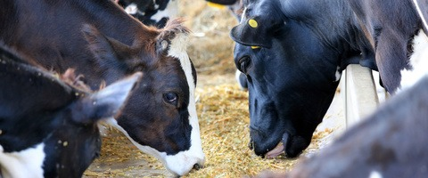 Dairy cattle feeding on maize