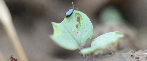 Flea Beetle feeding on OSR seedling