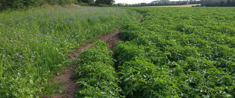 Green Headland mix alongside potatoes