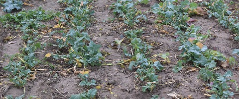 iOSR Focus Site flailed OSR over winter