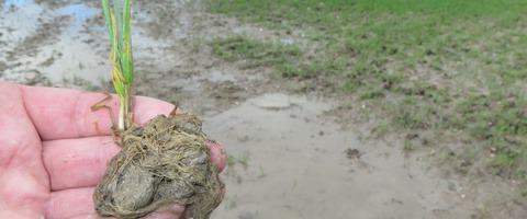 waterlogged wheat roots