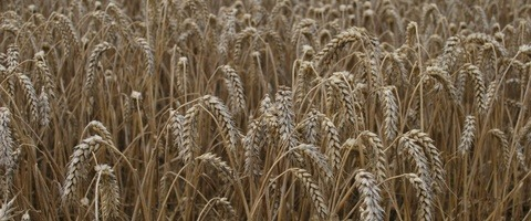 Shabras winter wheat harvest