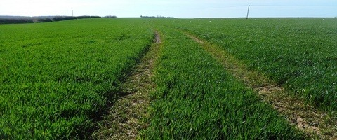 Photograph of winter wheat at Syngenta's platform site in Dorset