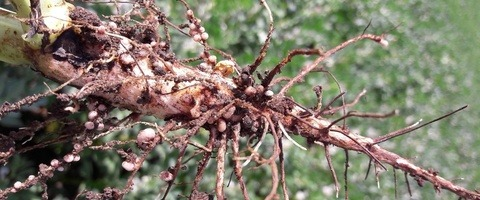 Damage caused by the pea and bean weevil larvae eating the healthy pink root noodles of spring beans
