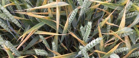 Yellow rust is spreading through untreated plots at Newark