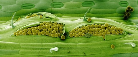 Yellow rust spores