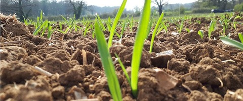 Spring barley seedlings