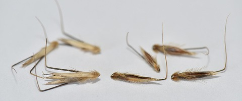 Winter wild oat - left - vs common spring wild oat