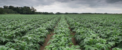 Risk of potato blight genotypes