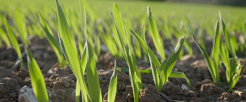 Spring barley early emergence