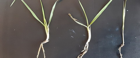 Variable overwintered wild oat plant sizes in spring