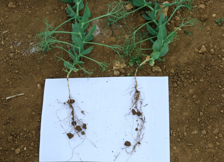 Pea and bean weevil damage