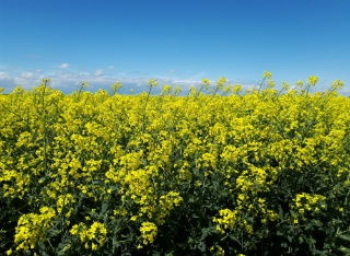OSR in flower
