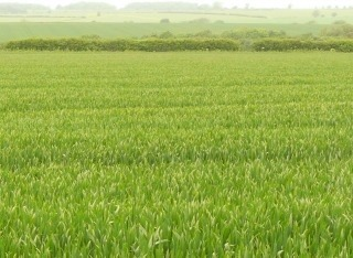 Barley trial showing different crop heights