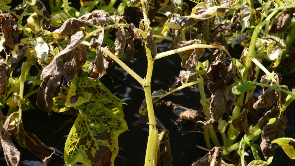 Alternaria leaf die back