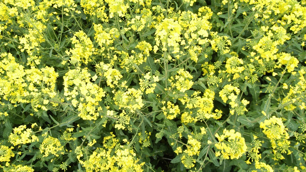 OSR early flowering Amistar timing