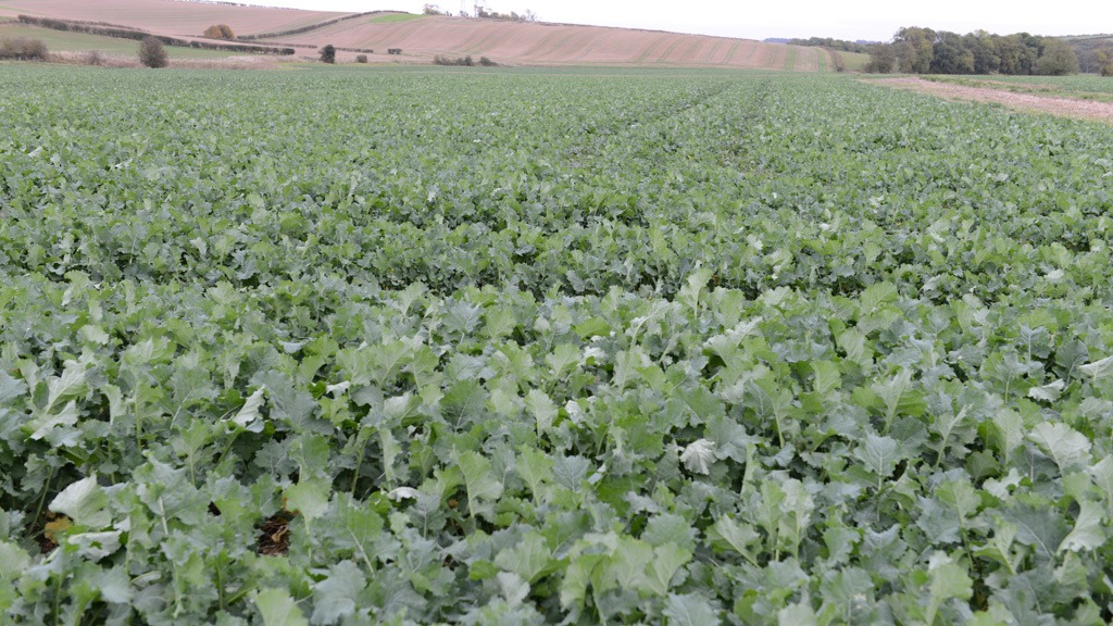 Foward OSR crop - Nov 2016