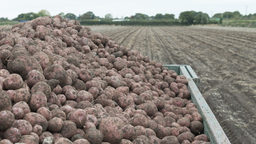 Harvested Lady Rosetta potatoes
