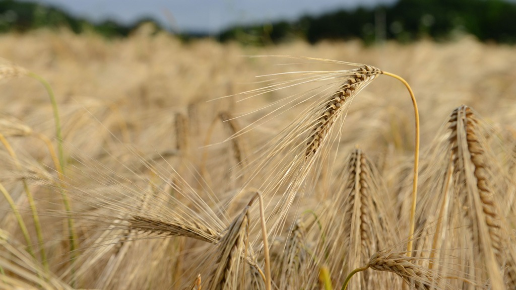 Hyvido barley ears at harvest