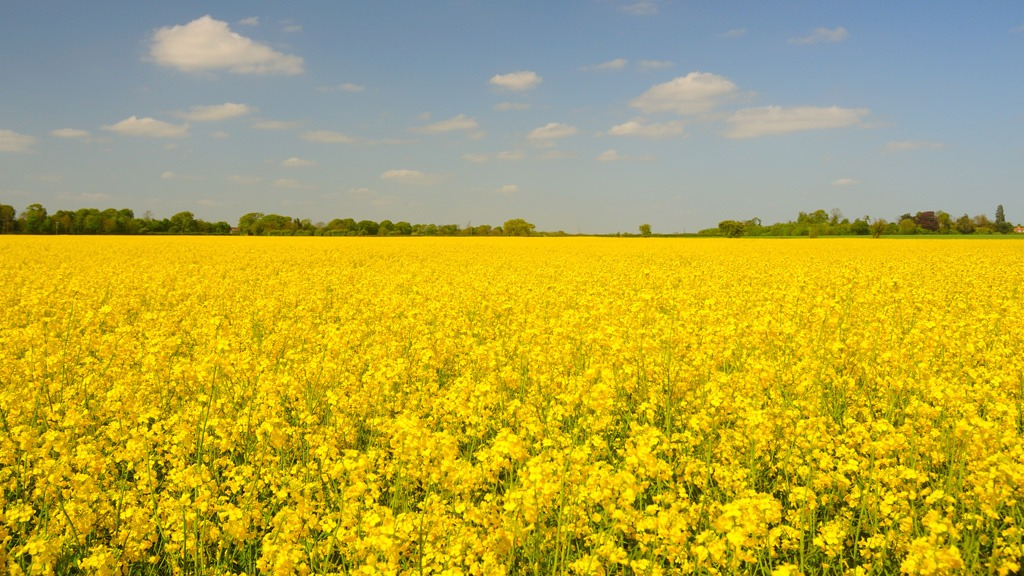 OSR field in flower