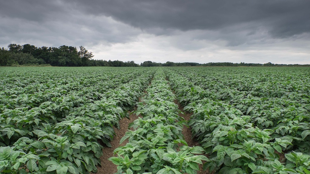 Potato blight risk under dark skies
