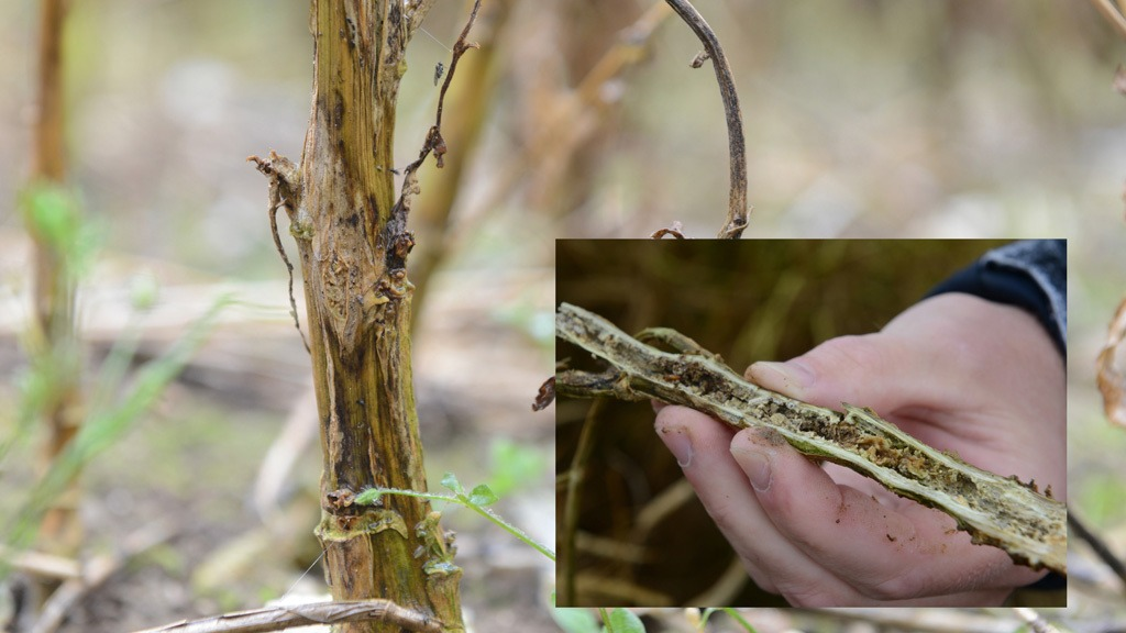 Phoma stem canker symptoms