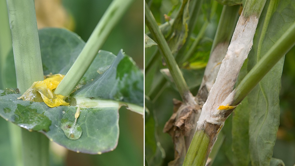 OSR flower petal stuck on petiole and resulting sclerotinia infection