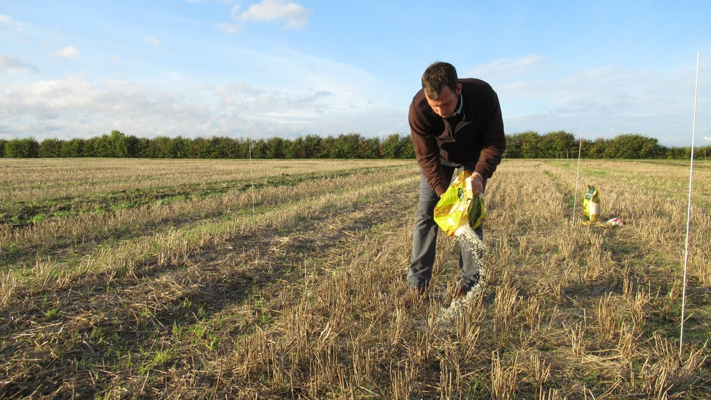 James Southgate spreads rice to simulate Black-grass seed for cultivations trials - Black-grass Focus Site Barton 2017