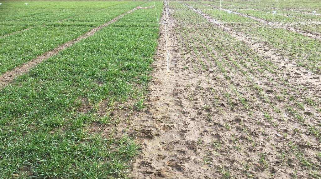A field showing the difference in growth between trial plots of winter wheat drilled in October and November