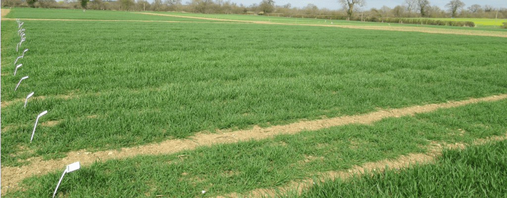 Winter wheat varieties growth habits