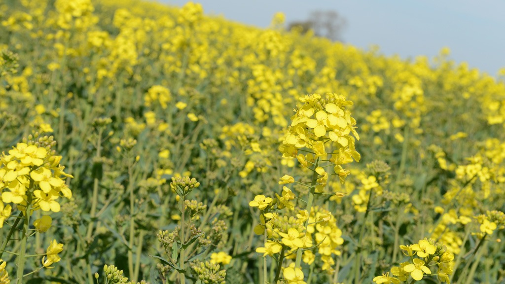 OSR coming into flower