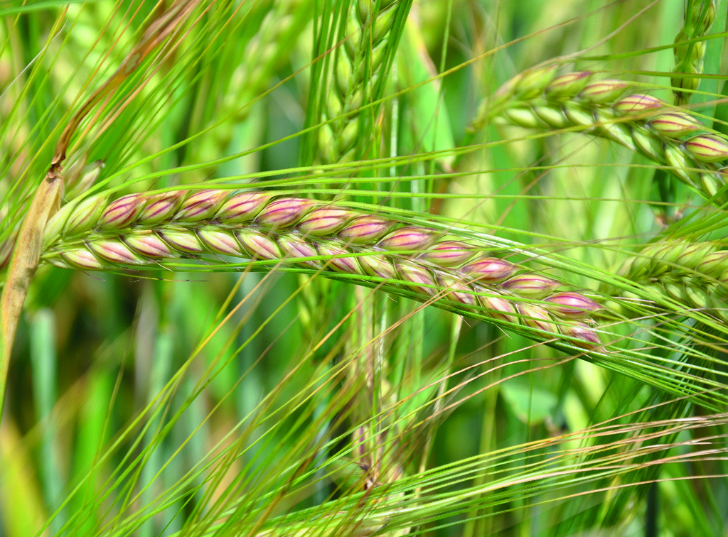 Craft winter barley