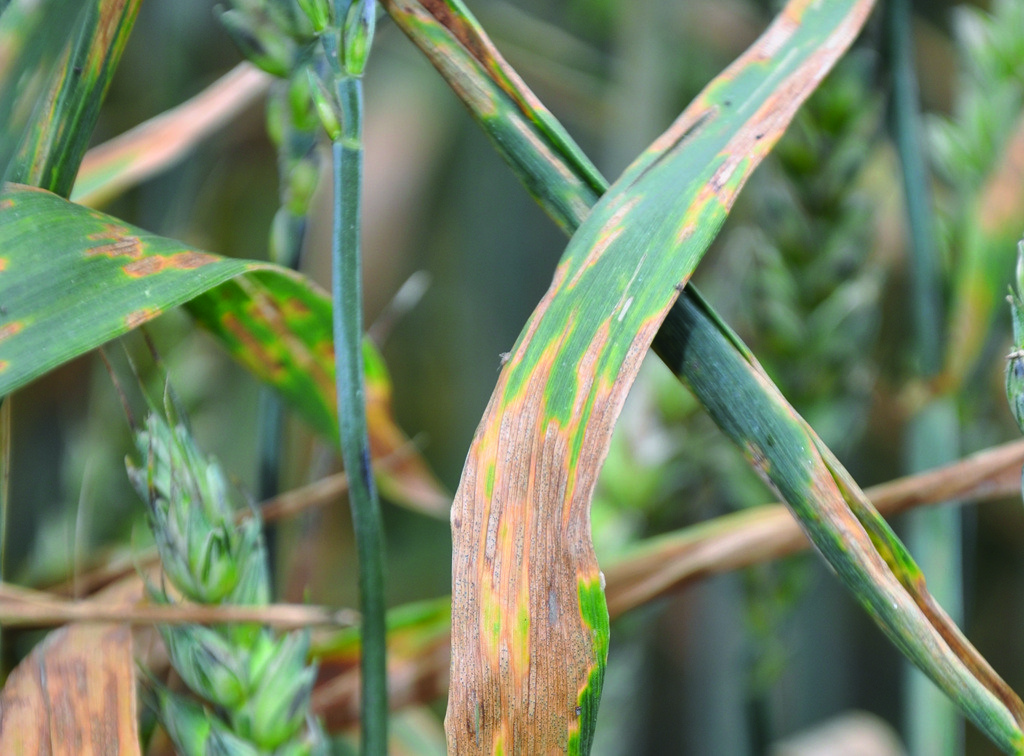 Septoria in wheat