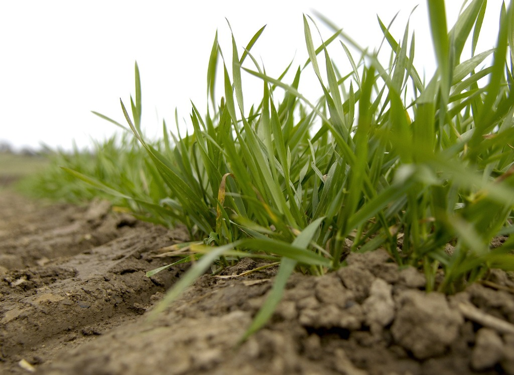 T0 now considered more important in winter wheat